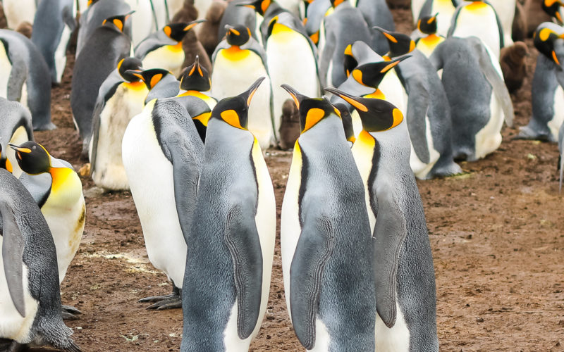 Plenty of Penguins in Port Stanley